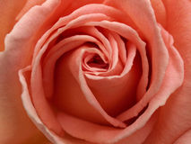 Light Pink Rose Close-up Royalty Free Stock Photos