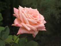 A light pink rose Stock Images