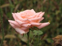 A light pink rose Stock Photo