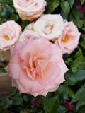 Light pink rose flower in garden. Flower of thorny shrub, used in floral arrangements, ornamental plant with fragrance, ingredient by essence in oil for Stock Photos