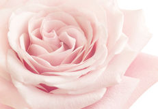 Light Pink Rose Flower Royalty Free Stock Photography