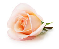 Light pink rose isolated on the white background Stock Images
