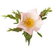 Light pink rose. Isolated on white. Rosa canina Stock Photography