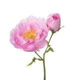 Light pink rose isolated on white. Tea rose Stock Image
