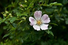 Light pink rose on leaves. Rosa canina. Dog-rose flowering on green leaves in a bush stock image