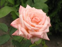 A light pink rose Royalty Free Stock Images