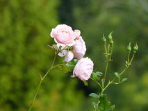 Light pink rose plant with few roses on a stem. Isolated on a green background Stock Images