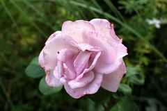 Light pink rose with small darker spots on petals surrounded with dark green leaves in background. Light pink rose with small darker spots on petals surrounded royalty free stock image