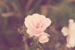 Light pink rose royalty free stock photography