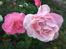 Pink roses bush in nature royalty free stock photography