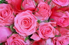 Light pink roses background Royalty Free Stock Image