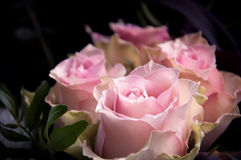 Light-pink roses closeup on a black background. Light-pink roses closeup with a focus on one flower on a black background Royalty Free Stock Photo