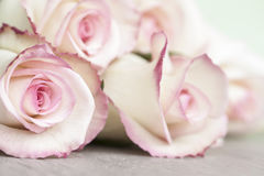 Light Pink Roses Royalty Free Stock Image
