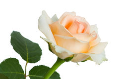 Light pink roses on a white background Royalty Free Stock Image