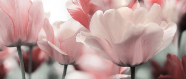 Light pink toned spring tulips Royalty Free Stock Photography