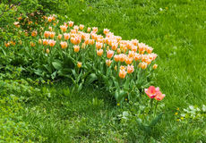 Light pink tulips in the grass Stock Photos