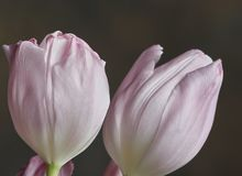 Light Pink Tulips Royalty Free Stock Images