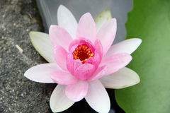 Light Pink Water Lily Stock Image