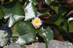 Light pink water lily. Flower and leaves of light pink water lily stock photography