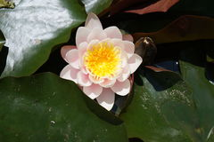 Light pink water lily. Flower and leaves of light pink water lily royalty free stock images