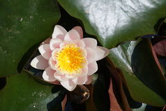 Light pink water lily. Flower and leaves of light pink water lily stock image