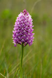 Light pink wild Pyramidal Orchid - Anacamptis pyramidalis. Light pink inflorescence of wild Pyramidal Orchid Anacamptis pyramidalis over an out of focus natural Royalty Free Stock Photo