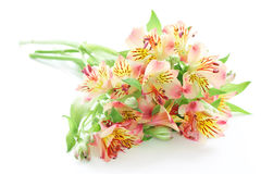 Light pink and yellow beautiful flower Royalty Free Stock Photos