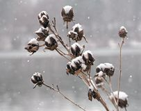 Light powdery snow falling on plant buds Royalty Free Stock Photos