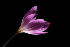 Light purple Colchicum. The Colchicum (colchicum autumnale) is also known as the Autumn Crocus or Meadow Saffron Royalty Free Stock Images