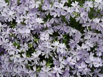 Light Purple Creeping Phlox spring groundcover. Phlox stolonifera is an herbaceous, stoloniferous, perennial, plant that is native to woodlands in the vicinity royalty free stock image
