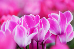 Light Purple cyclamen flowers Stock Images