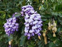 light purple dermatophyllum flower in a garden in spring season stock photo