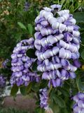 light purple dermatophyllum flower in a garden in spring season royalty free stock photos