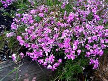 Light purple flower in a bed made of old pine logs stock images
