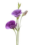 Light purple flowers. Isolated on white. eustoma Stock Photos