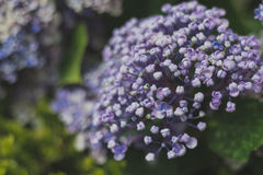 Light Purple Hydrangea Blooming Stock Photography