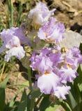 Light purple iris Royalty Free Stock Images
