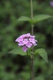 Light Purple lantana flower Stock Photo