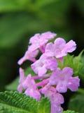 Light Purple lantana flower Royalty Free Stock Photography