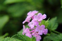 Light Purple lantana flower Stock Image