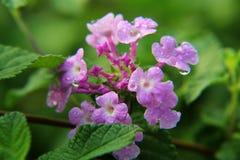 Light Purple lantana flower Royalty Free Stock Photo