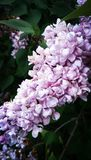 Beautiful lilacs. Light purple lilacs on a lilac bush Royalty Free Stock Photos