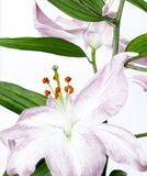 A light purple liliy. On white background Royalty Free Stock Image