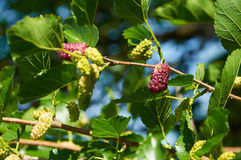 Light purple mulberries on the branch Stock Image