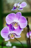 Light purple orchid Stock Images