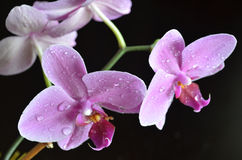 Light purple orchid. On a dark background with water drops Stock Image