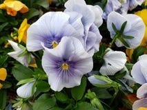 light purple pansy flower in a garden in winter season stock image
