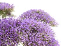 light purple pentas flowers isolated on white Stock Photo