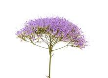 light purple pentas flowers isolated on white Stock Image