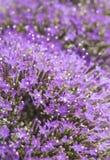light purple pentas flowers Royalty Free Stock Image
